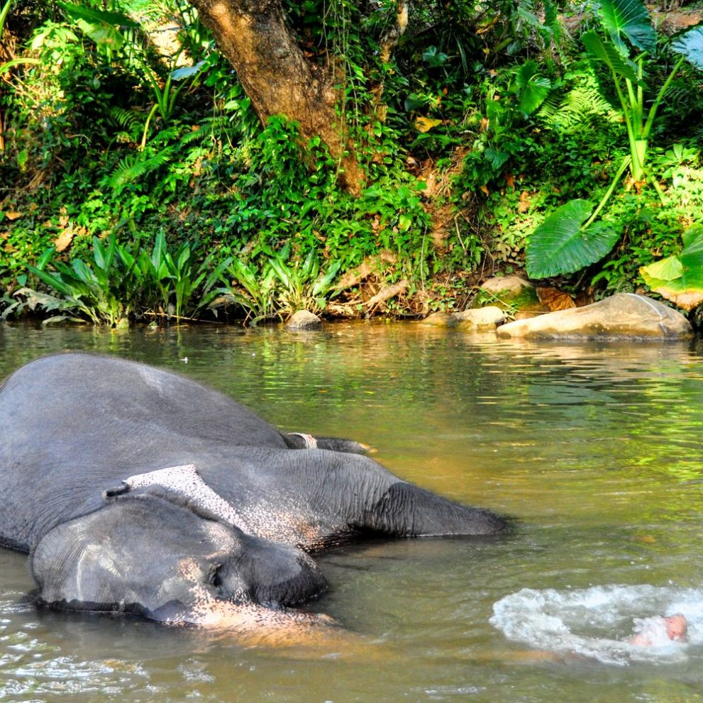 There are over 5000 elephants in Sri Lanka the highest in Asia