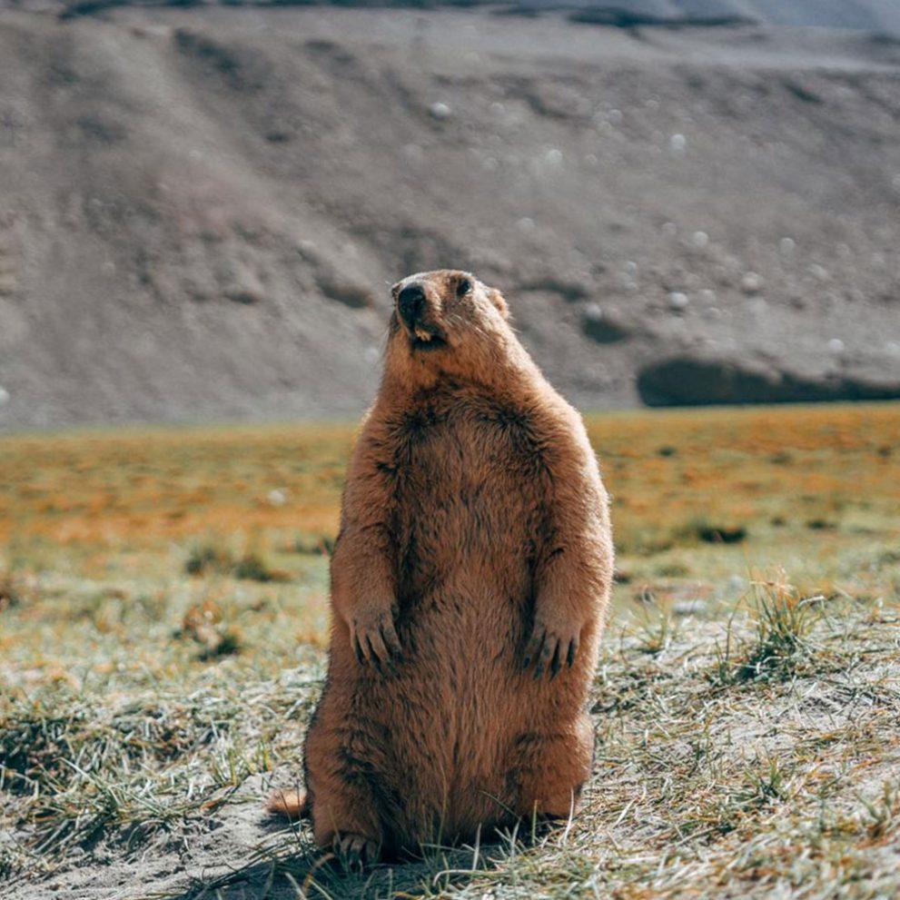Huge mountain marmot on the high mountain fields before Pangong lake.