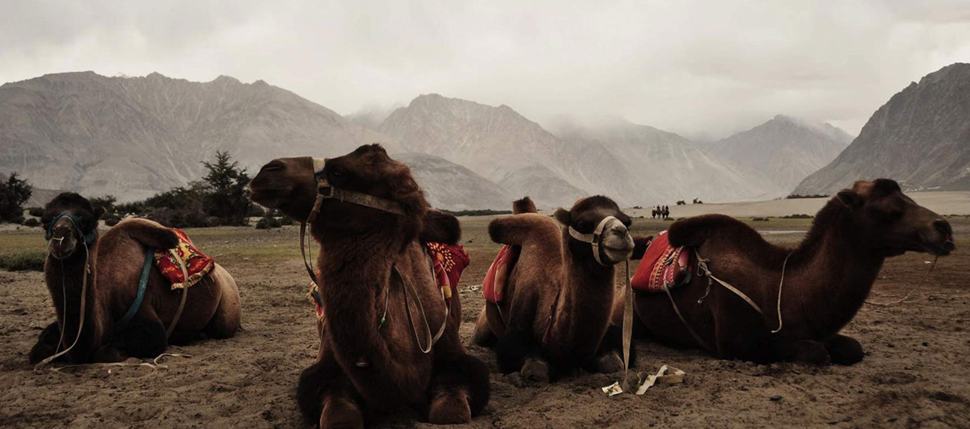 In Nubra Valley camels roam on the sand dunes created by the dust from the Himalayas.