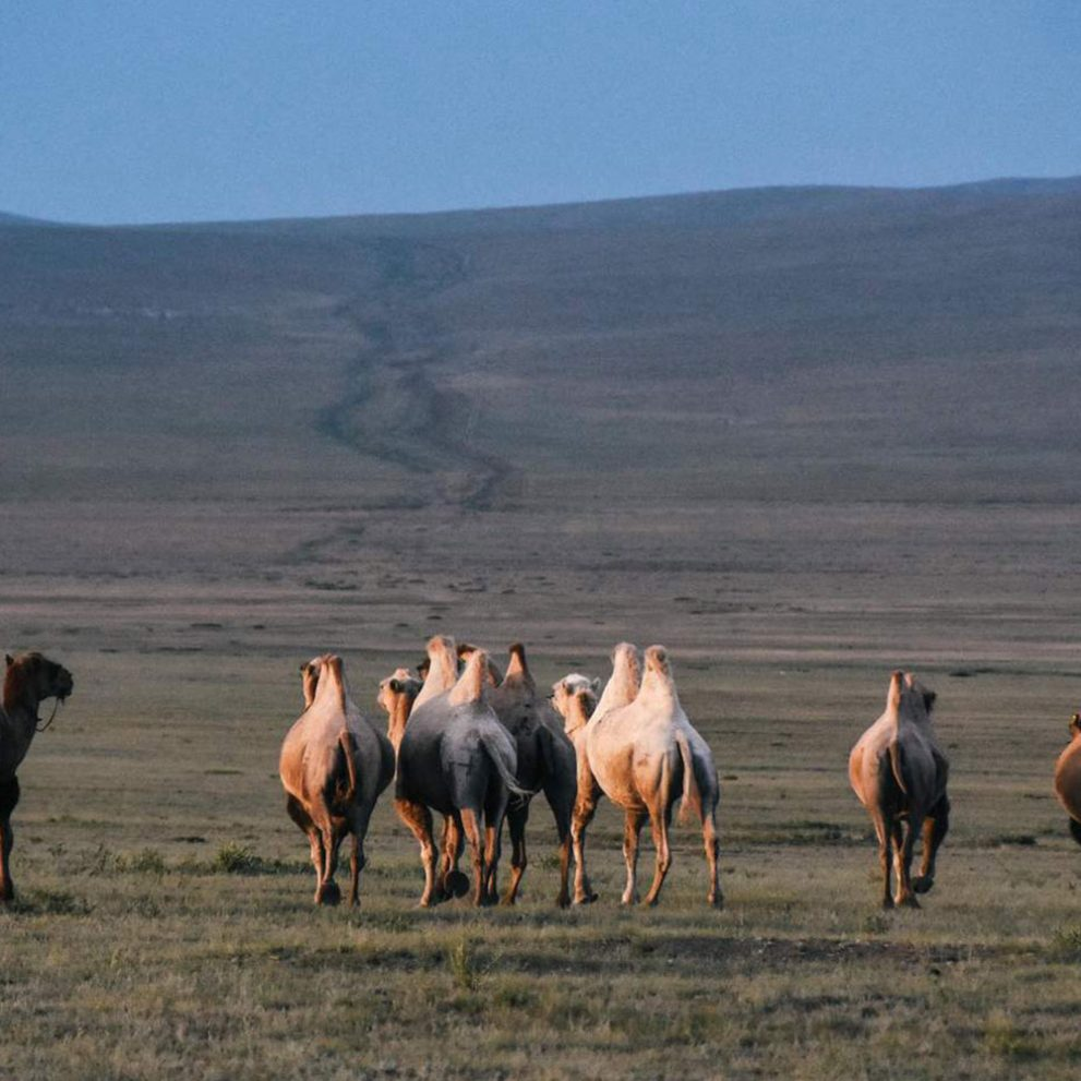 A camel caravan in the setting sun of the Steppe.