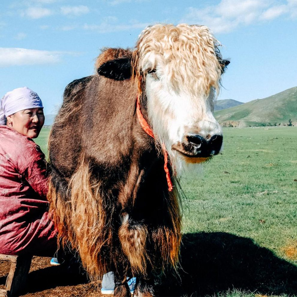 You will experience the true mongolian nomadic lifestyle, like milking yaks in the morning.