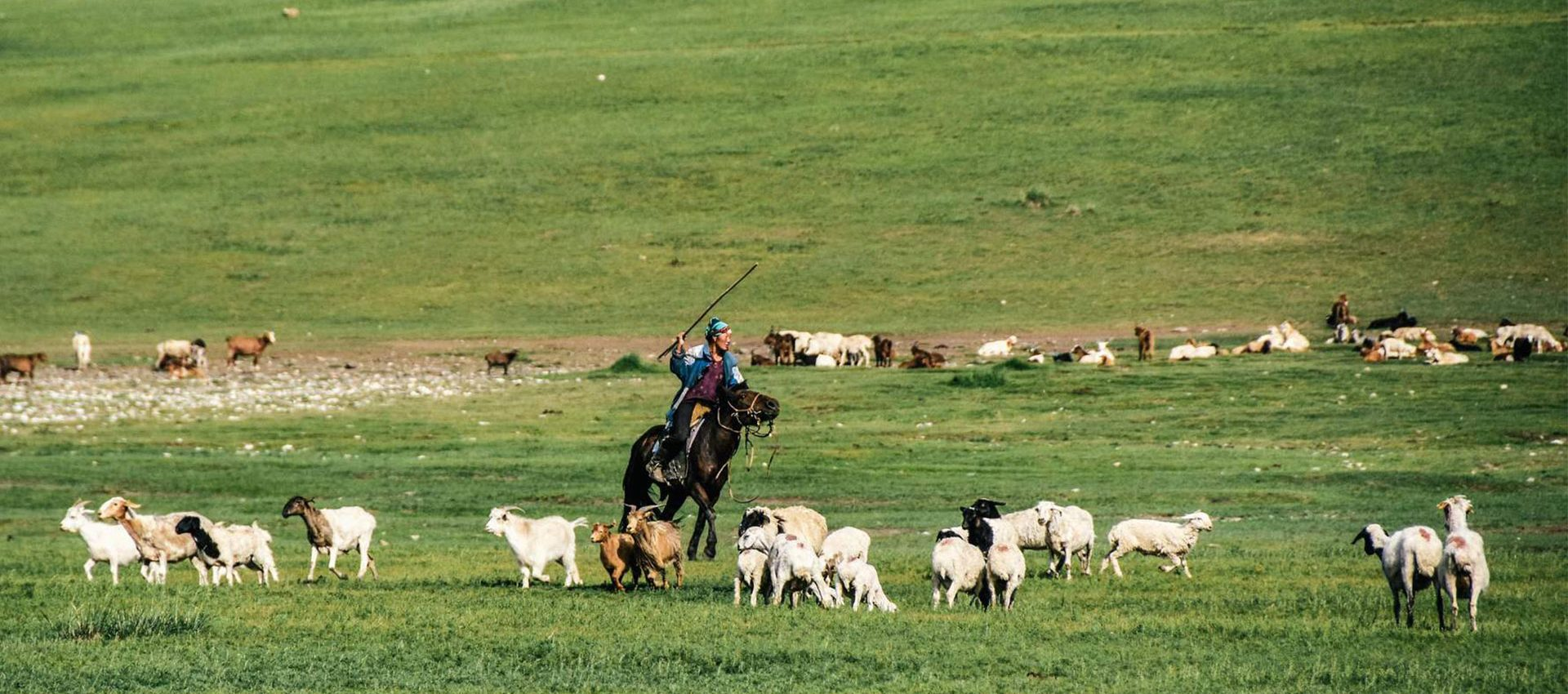 Herding the flock, mongolian style.